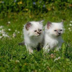 乘巧萌萌哒猫咪小缅甸猫图片照