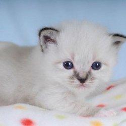 可爱猫咪幼崽缅甸猫高清特写图片